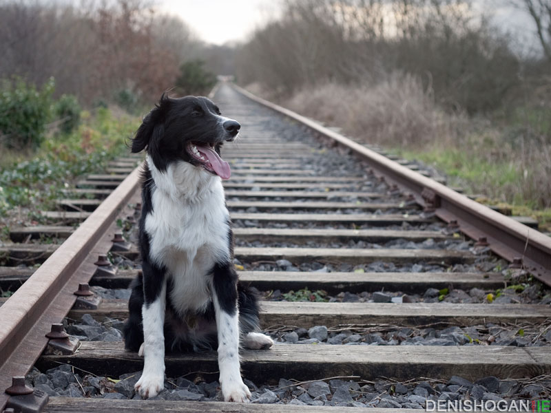 Archie taking a breather on the old railway track in Adare.