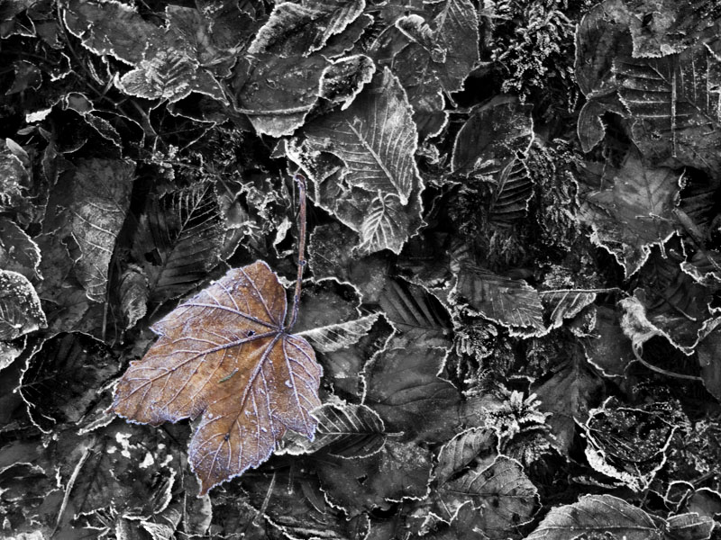 Frozen Sycamore